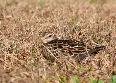 Pectoral Sandpiper showing off the camoflauge