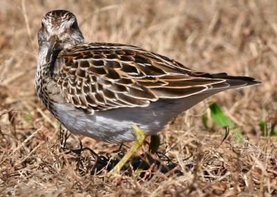 Pectoral Sandpiper looking at camera
