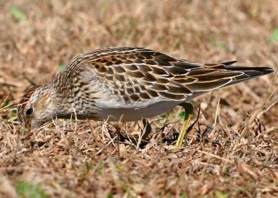 Pectoral Sandpiper still hunting