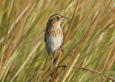 Saltmarsh Sharp-tailed Sparrow by Pete
