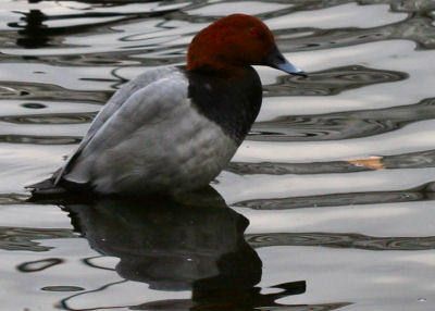 Pochard sitting up