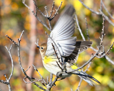 Yellow-rumped Warbler taking off