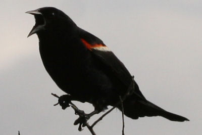 Red-winged Blackbird at Five Rivers EEC