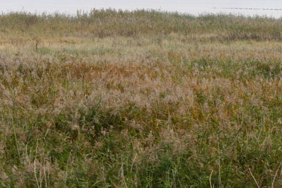 reeds but no reedlings
