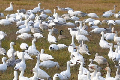 Cackling Goose with Snow Geese