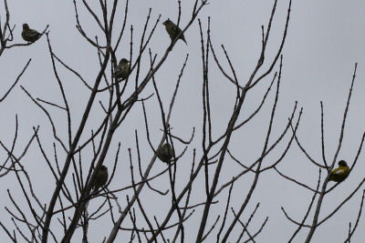 Evening Grosbeaks