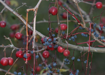 wild grapes and crabapples
