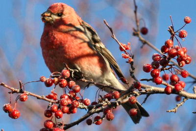 Pine Grosbeak by Corey Finger
