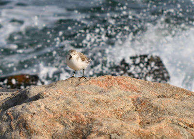 Sanderling on jetty