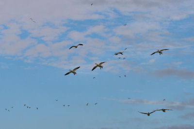 Snow Geese everywhere