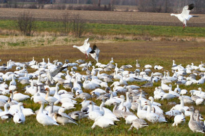 Snow Geese joining Snow Geese