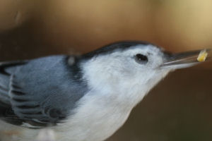 White-breasted Nuthatch quiz answer