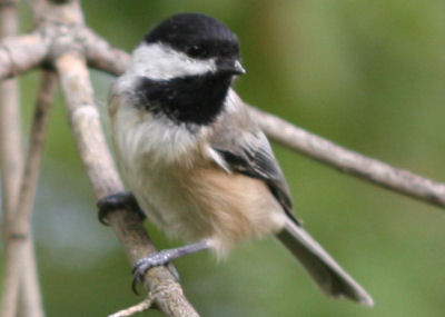Black-capped Chickadee at Vischer Ferry