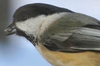 Black-capped Chickadee with sunflower seed