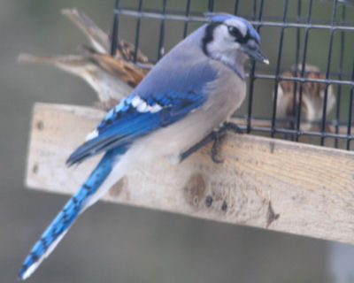 Blue Jay on cage feeder
