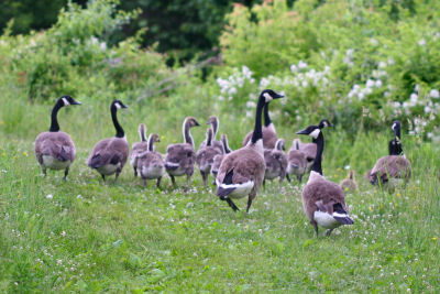 flock of temporarily flightless Canada Geese