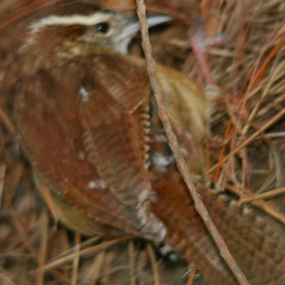 Carolina Wren close-up