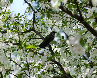 Gray Catbird in blooming apple tree