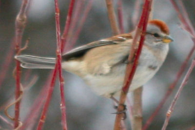 American Tree Sparrow on the Christmas Bird Count