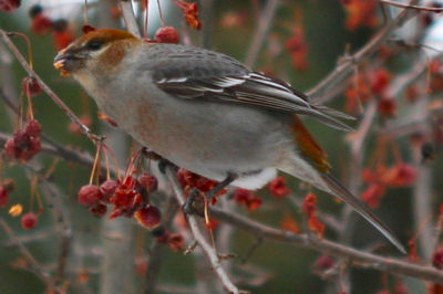 juvenile male Pine Grosbeak