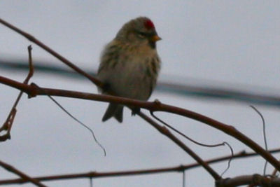 Common Redpoll on the Christmas Bird Count