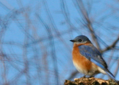 Eastern Bluebird on the Catskill-Coxsackie CBC