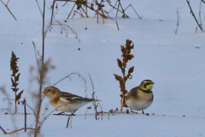 Snow Bunting and Horned Lark on the Catskill-Coxsackie CBC