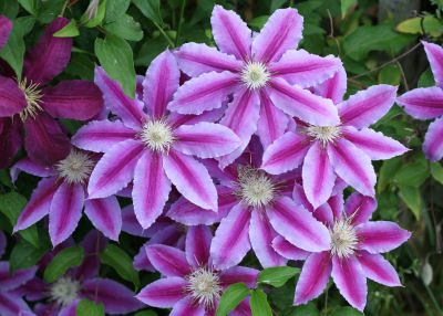 clematis at my Nana's house