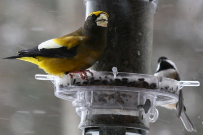 Evening Grosbeak with Black-capped Chickadee