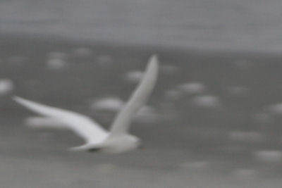 Ivory Gull in flight