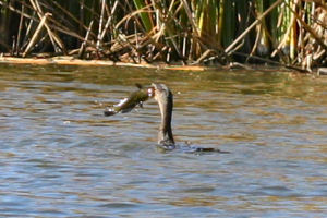 Double-crested Cormorant struggling with big fish