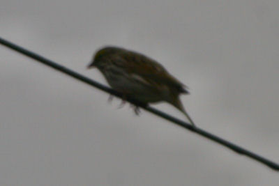 Lousy Savannah Sparrow