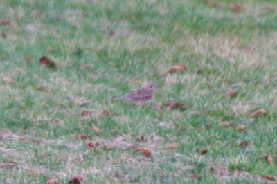Lousy Vesper Sparrow