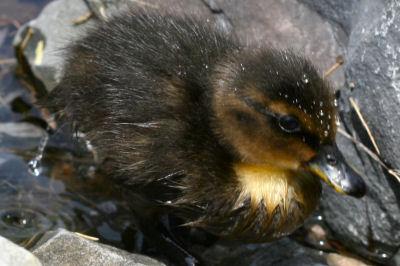 oddball Mallard duckling