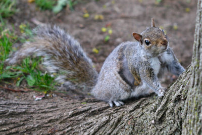 mangy Gray Squirrel