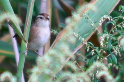 Marsh Wren at Kissena Park