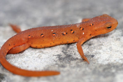 Newt, or, Red Eft