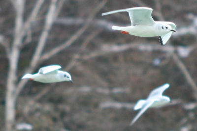 three Bonaparte's Gulls