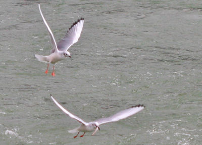 two Bonaparte's Gulls, one with a fish
