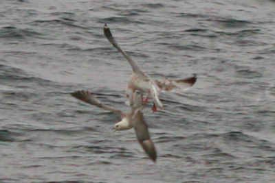 Herring Gull attacking a Northern Fulmar