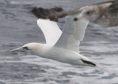 Northern Gannet partially obscured by a gull
