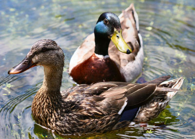 pair of Mallards in Congress Park, Saratoga Springs, NY