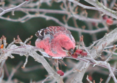 the same male Pine Grosbeak still feeding