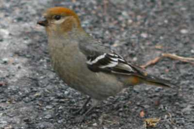 female Pine Grosbeak on the road for grit