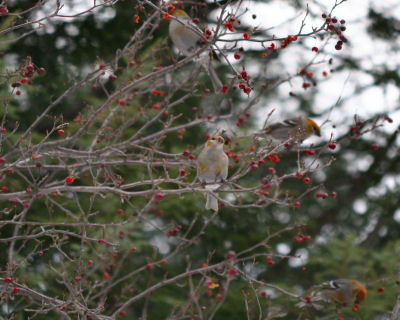 female Pine Grosbeaks