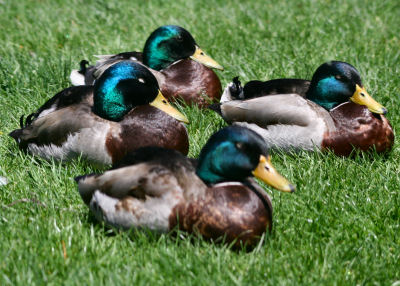 sleepy male Mallards