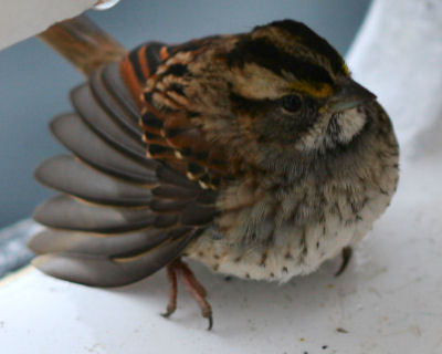 exhausted White-throated Sparrow