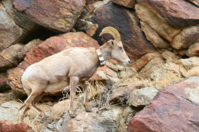 Desert Bighorn Sheep with a radio collar