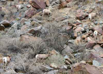 Desert Bighorn Sheep herd