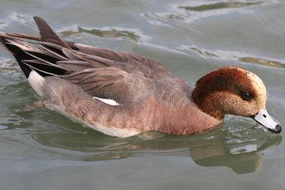 Hybrid Wigeon (American and Eurasian)